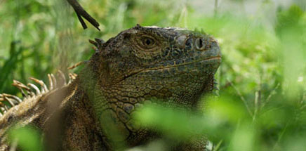 Costa Rica Tree House Lodge supports the Green Iguana Foundation